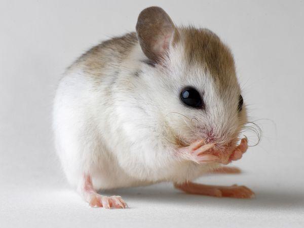 Speciálně vycvičené myši hledají bomby.