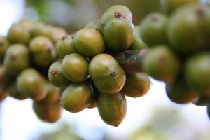 kava-zelena